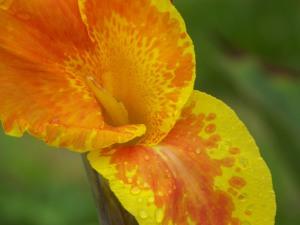 Summer-y Iris